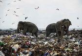 زباله گردی فیلها برای غذا +عکس