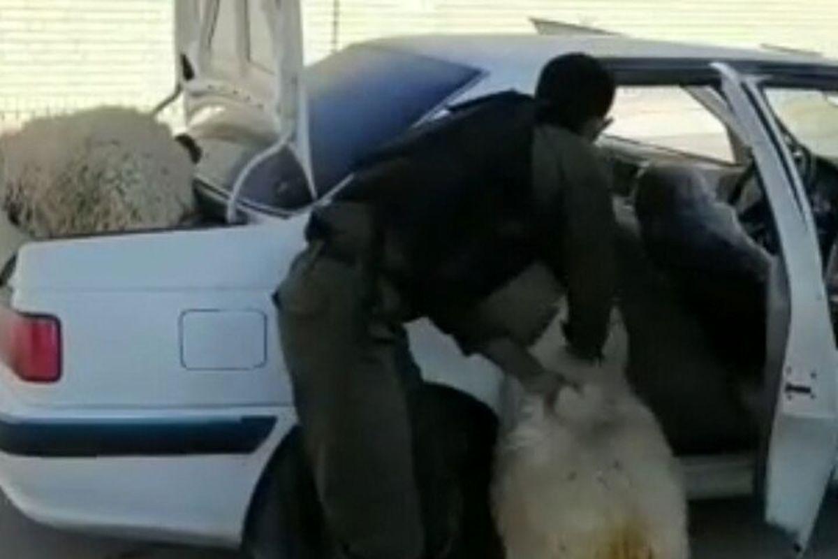 حمل عجیب ۱۱ راس گوسفند با پژو پرشیا+فیلم