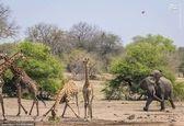 فیل زورگو زرافهها را از قلمروش بیرون انداخت! +تصاویر