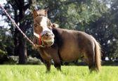 کوچکترین اسب جهان +عکس