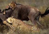 حمله دیدنی یوزپلنگهای گرسنه به گوزن یالدار + فیلم