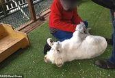 بغل کردن شیرها در  باغ وحش دردسرساز شد +عکس
